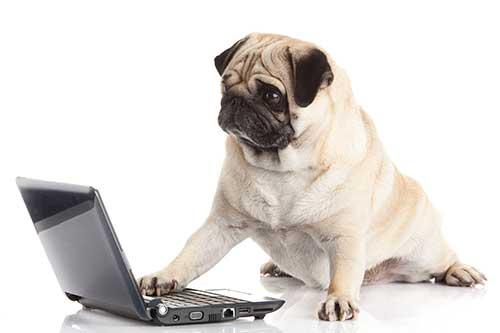 pug-dog-with-laptop-Q9HC638Resized